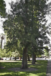 River She-Oak Trees at Capitol Park in Sacramento