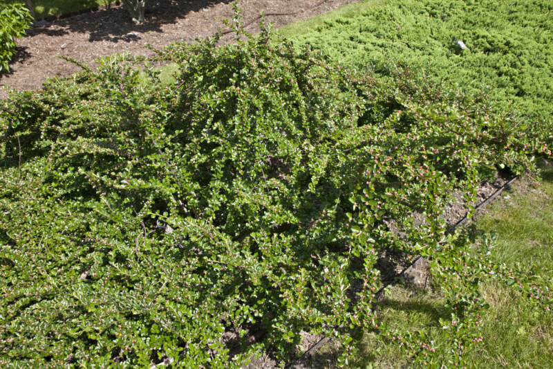 Rock Cotoneaster at the Arnold Arboretum of Harvard University