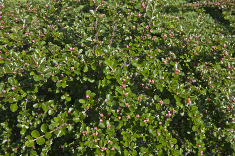 Rock Cotoneaster Leaves and Flower Buds