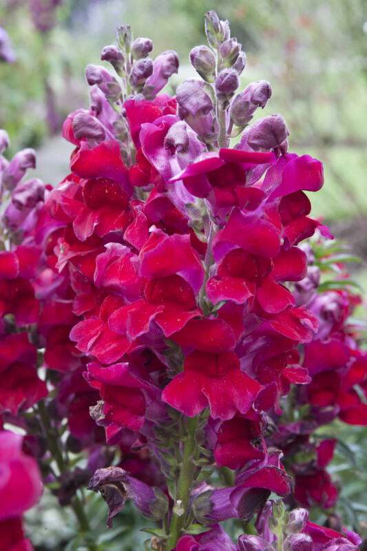 Rocket Snapdragon
