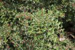 Rockspray Cotoneaster Branches