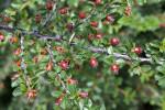 Rockspray Cotoneaster  (Cotoneaster microphyllus)