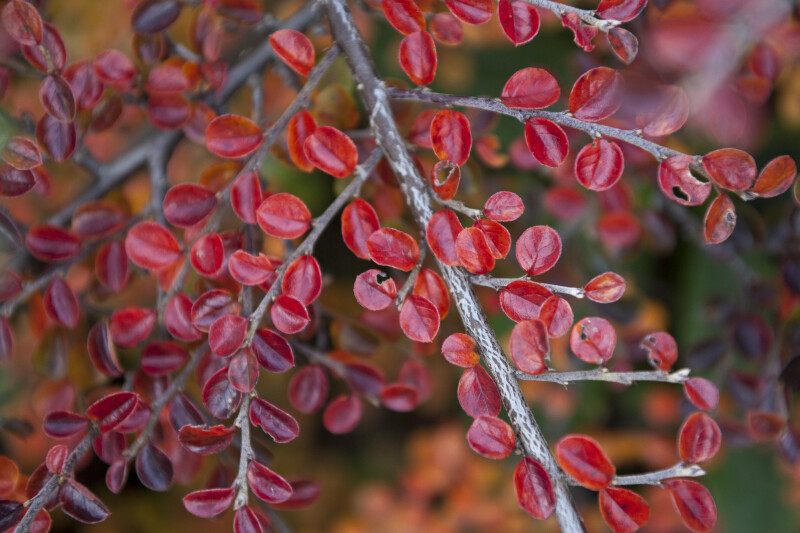 Rockspray Cotoneaster Red Leaves