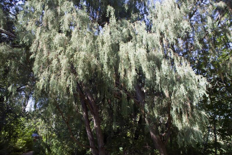Rocky Mountain Juniper Branches