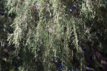 Rocky Mountain Juniper Close-Up