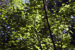 Rocky Mountain Maple Branches
