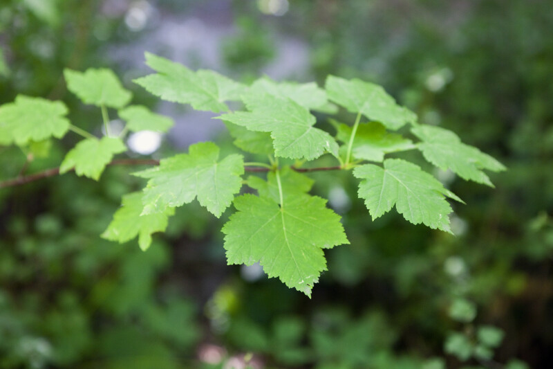 Rocky Mountain Maple Leaves Clippix Etc Educational