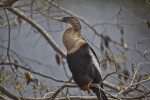 Roosting Anhinga near Oasis Visitor Center at Big Cypress National Preserve