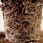 Root Bound Coleus