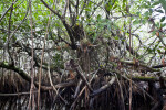 Roots and Branches of a Mangrove