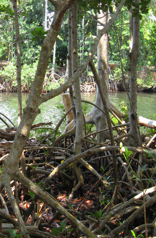 Roots and Yellow-Crowned Night Heron