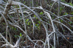 Roots and Young Mangroves