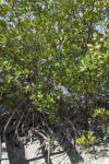 Roots, Branches, and Leaves of a Red Mangrove