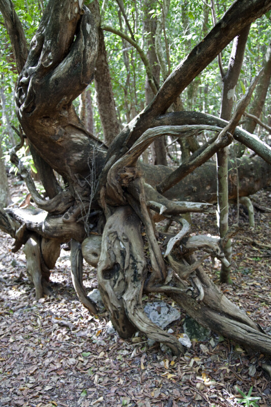 Roots of a Fallen Tree
