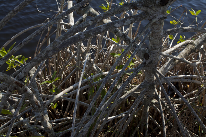Roots of a Mangrove at the Big Cypress National Preserve