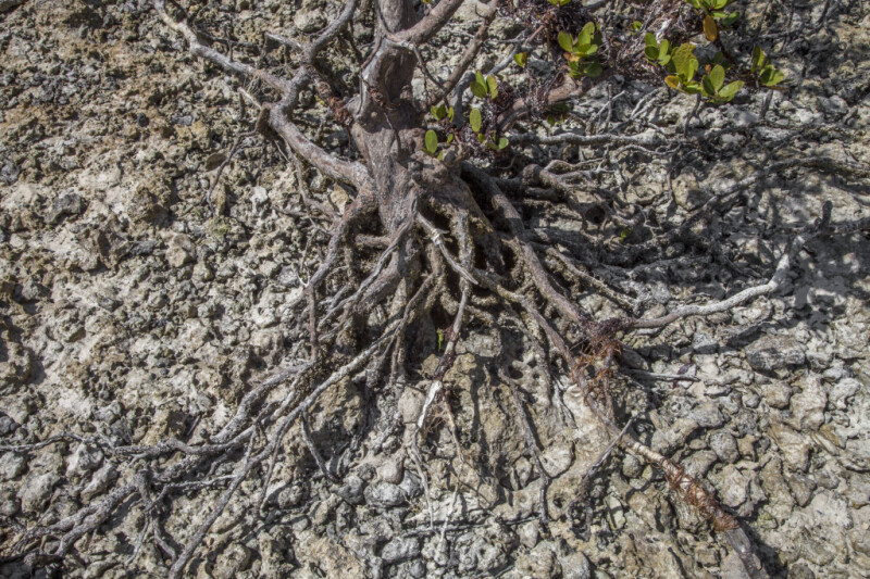 Roots of a Mangrove Tree at Biscayne National Park