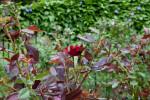 Rose Bush at the Washington Oaks Gardens State Park