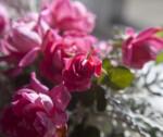 Rose Flower in Monroeville, PA