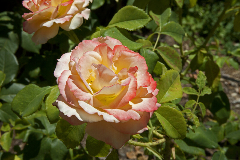 Rose Flower with Pink and Yellow Coloring