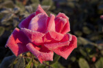 Rose Flower with Pink, Curled Petals Lightly Covered in Frost