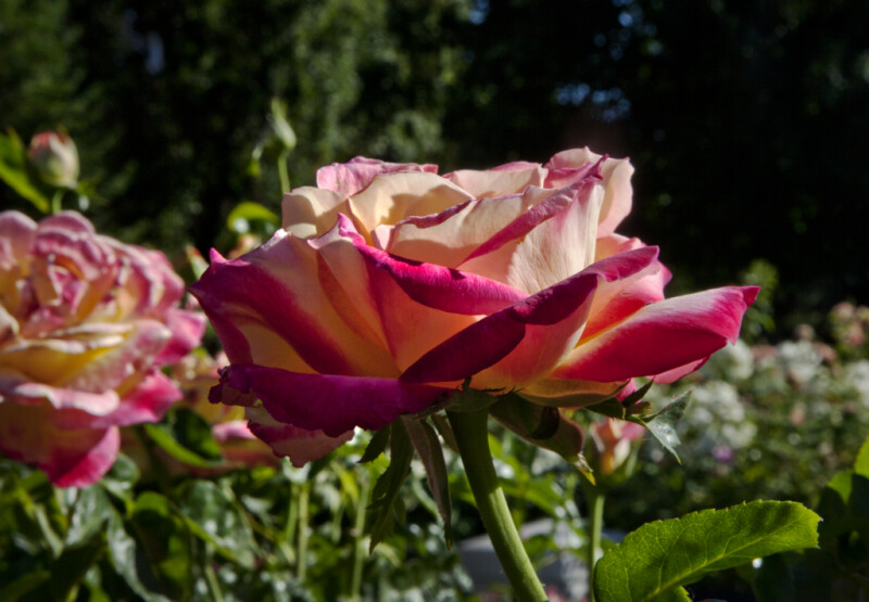 "Rose ""Love and Peace"" Hybrid Tea Flower"