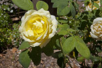 Rose with a Yellow Flower