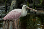 Roseate Spoonbill Resting on a Log