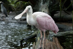 Roseate Spoonbill Standing on a Log
