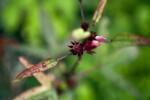 Roselle Blossom