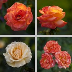 Roses photographs
