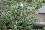 Rosmarinus officinalis lavandulaceous