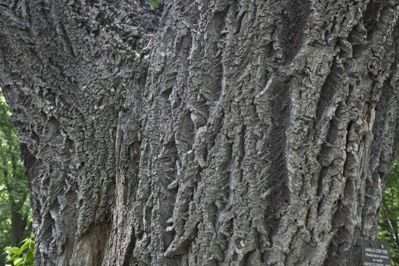 Rough Bark of a Lavalle Cork