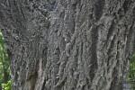 Rough Bark of a Lavalle Cork
