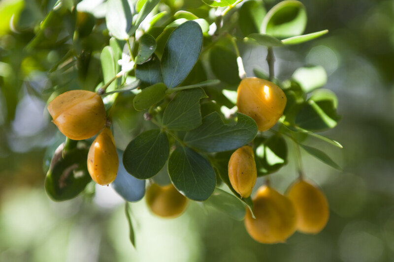 Roughbark Lignum-Vitae Fruit