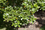 Roughbark Lignum-Vitae Leaves