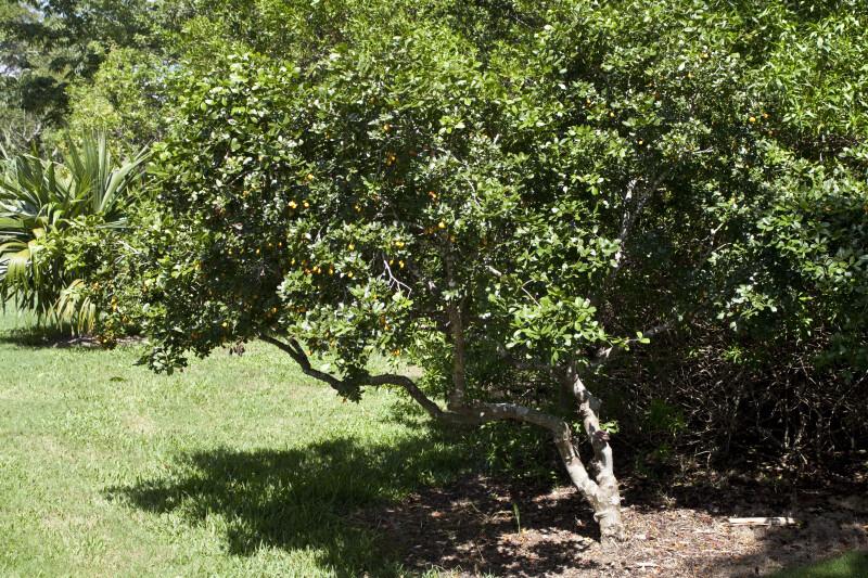 Roughbark Lignum-Vitae Tree