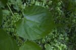 Round Leaf of a Littleleaf Linden Tree