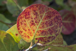 Round-Leaf of Sea Grape Plant
