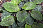 Round, Lined Green Kaempferia angustifolia Leaves