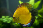 Yellow Discus Fish with Some White, Red, and Blue Coloring