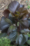 Rounded and Crinkled Copper Plant Leaves