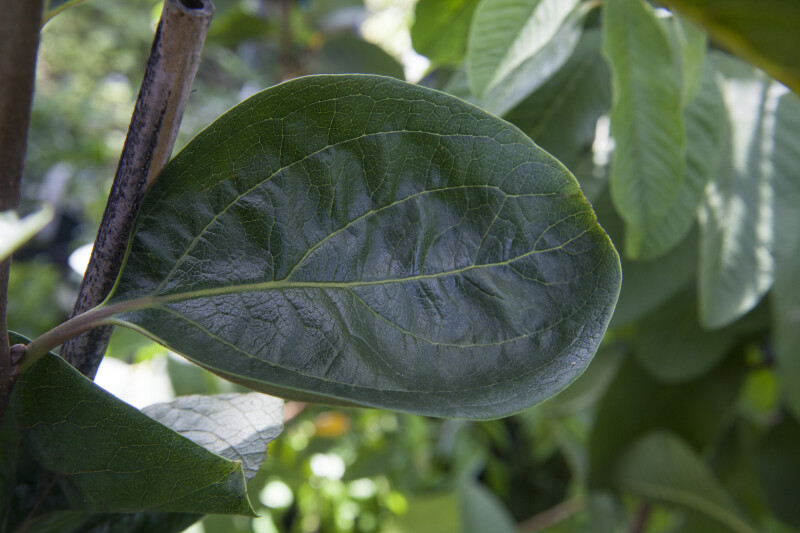 Rounded Fuyu Persimmon Leaf