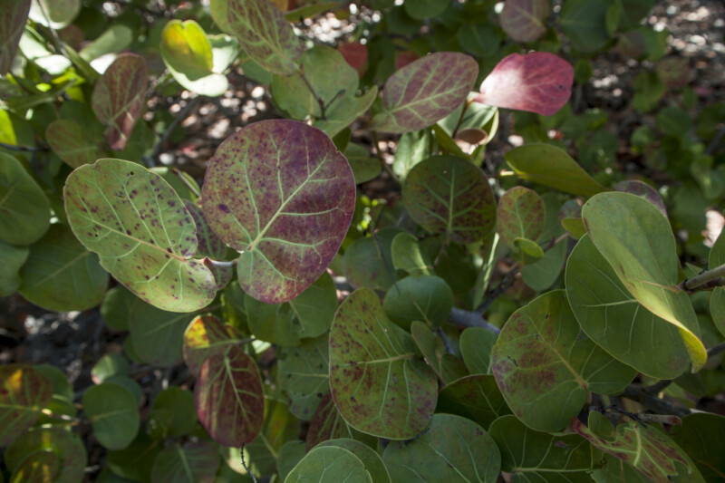 Rounded, Reddish-Green Leaves of a Sea Grape Plant