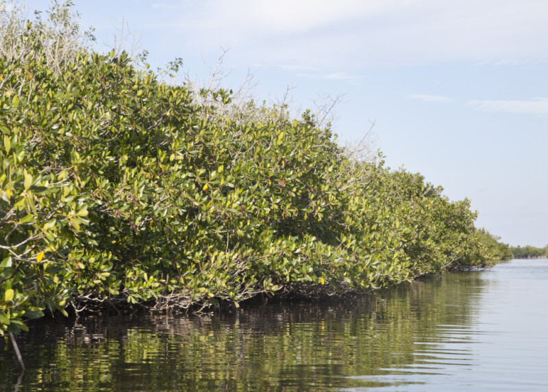 Row of Mangroves Along Halfway Creek in Everglades National Park