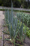 Row of Onion Plants