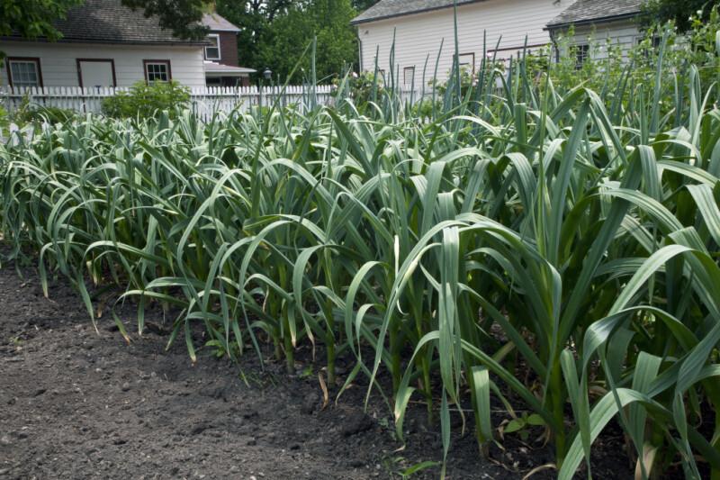 Rows of Garlic Plants at Old Economy Village