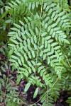 Royal Fern Branch