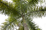 Royal Palm Branches