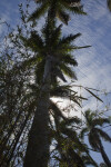 Royal palm (Roystonea regia)