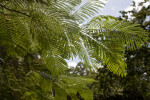 Royal Poiciana Frond